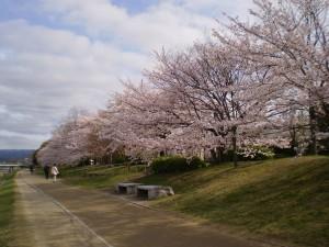 桜満開20160405