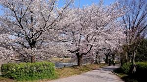 鴨川桜1c DSC_0003