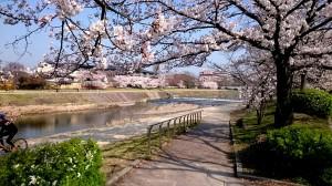 鴨川の桜 20180328